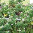 Pelargonium quercifolium flower mass