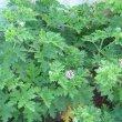 Pelargonium quercifolium foliage