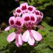 Pelargonium quercifolium var. flowers