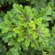 Pelargonium quercifolium var. foliage