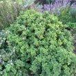 Pelargonium quercifolium var. form