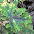Pelargonium quercifolium var.leaf