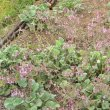 Pelargonium reniforme foliage