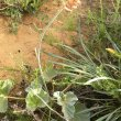 Pelargonium sidoides bud
