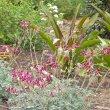 Pelargonium sidoides flower mass