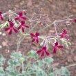 Pelargonium sidoides flowers