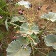 Pelargonium sidoides flower