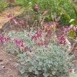 Pelargonium sidoides form