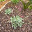 Pelargonium sidoides young