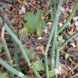 Pelargonium tetragonum leaves