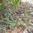 Pelargonium tetragonum form