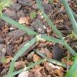 Pelargonium tetragonum stems