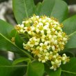 Pittosporum viridiflorum fl close