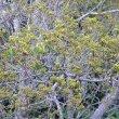 Pittosporum viridiflorum fruits