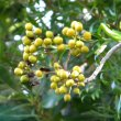 Pittosporum viridiflorum fruits