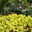 "Plectranthus ciliatus 'Easy Gold"""