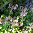 Plectranthus ecklonii Erma