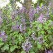 Plectranthus ecklonii Medley Wood