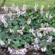Plectranthus  fruticosus Ellaphie