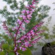 Plectranthus fruticosus James