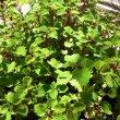 Plectranthus fruticosus: 'James'