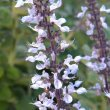 Plectranthus sp. unknown