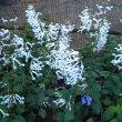 Plectranthus - Cape Angel