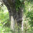 Podocarpus falcatus bark