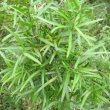 Podocarpus falcatus foliage