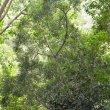 Podocarpus falcatus sapling