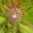 Protea cynaroides bud