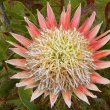 Protea cynaroides flower mature
