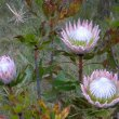 Protea cynaroides flowers