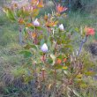 Protea cynaroides form