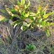 Protea cynaroides regrowth