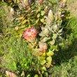 Protea eximia branch