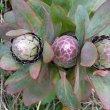 Protea eximia  buds