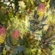 Protea eximia flowers