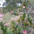 Protea eximia form