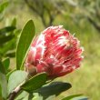 Protea lacticolor flower