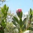 Protea lacticolor foliage