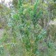 Protea lacticolor young