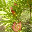 Protea repens foliage