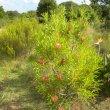 Protea repens form
