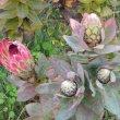 Protea eximia foliage