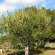 Prunus africana form