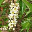Prunus africana flower close