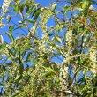 Prunus africana foliage