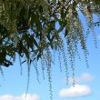 Prunus africana fruit