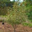 Prunus africana young